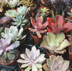 Succulents for sale at Car Free Day Vancouver